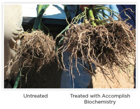 Corn Roots-Accomplish Biochemistry