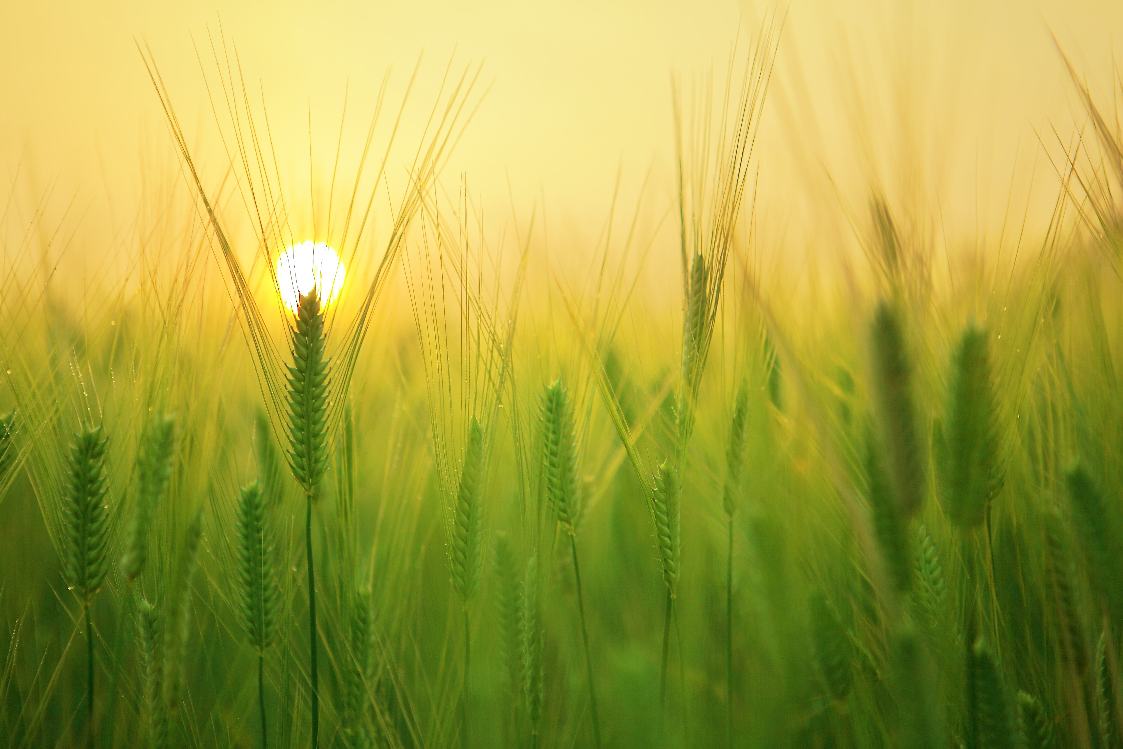 agriculture-barley