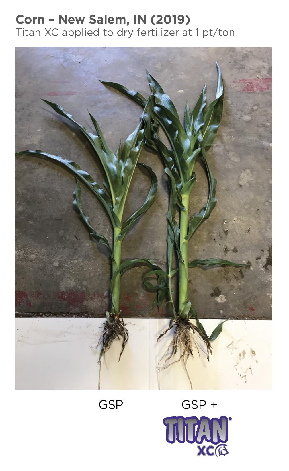 corn-new salem 01