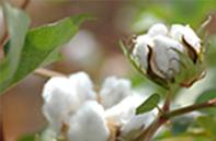 cotton-1