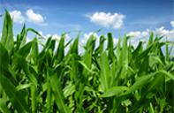 grain_crops